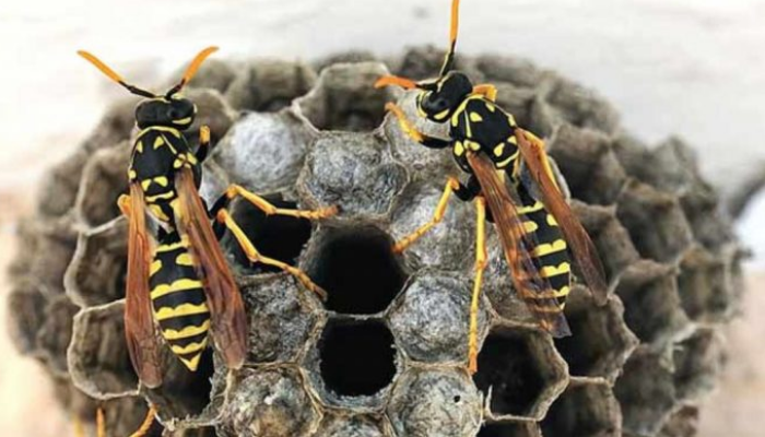 Cómo quitar un nido de avispas