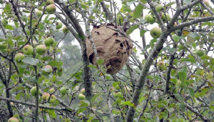 Cómo quitar un nido de avispas con trucos caseros