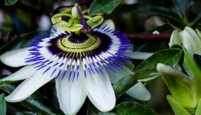 Hojas y flores de pasiflora
