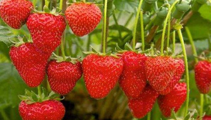 Fresas frescas para quitar las ojeras en hombres