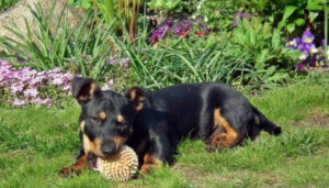 Cómo quitar garrapatas de los perros, usa remedios naturales