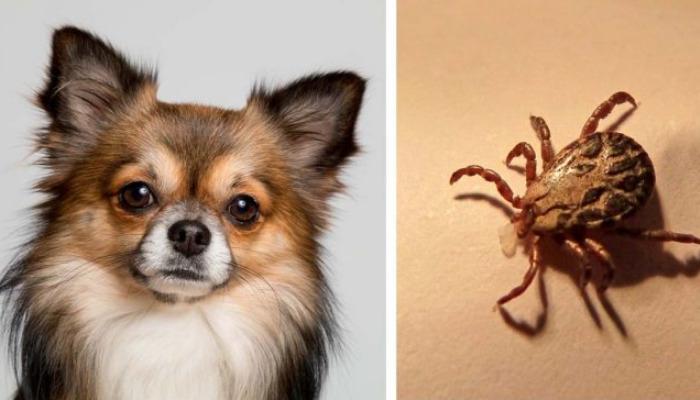 Cómo quitar las garrapatas de los perros con productos especiales