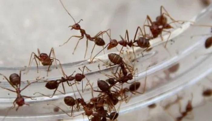 Eliminar las hormigas con vinagre y agua
